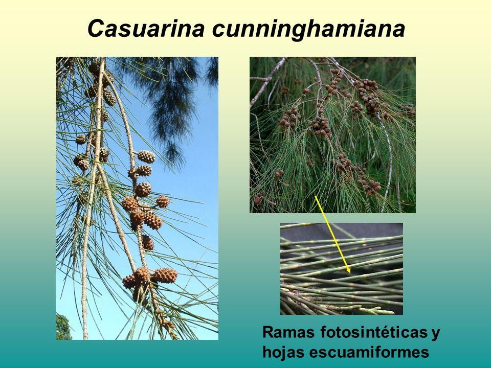 Casuarina cunninghamiana Ramas fotosintéticas y hojas escuamiformes