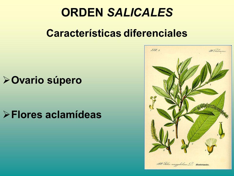 ORDEN SALICALES Características diferenciales Ovario súpero Flores aclamídeas