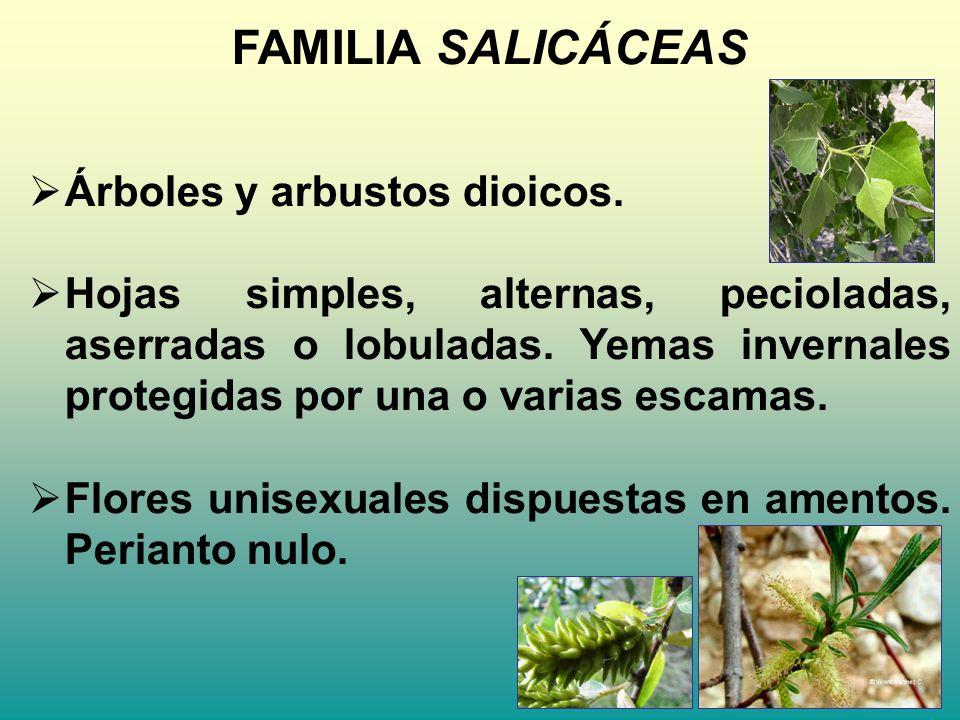 FAMILIA SALICÁCEAS Árboles y arbustos dioicos. Hojas simples, alternas, pecioladas, aserradas o lobuladas. Yemas invernales protegidas por una o varia
