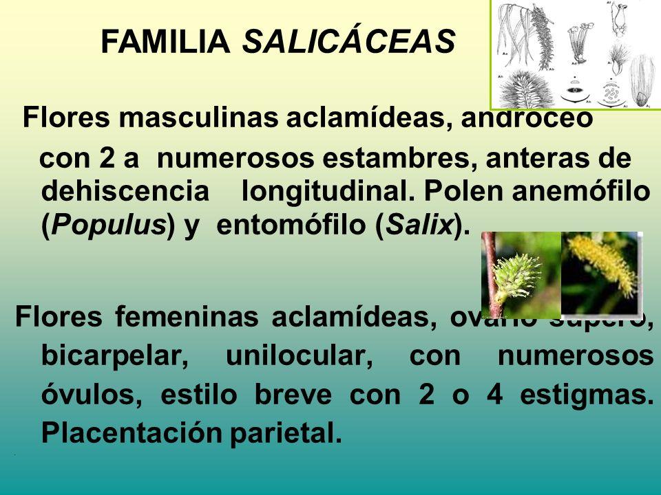 Flores masculinas aclamídeas, androceo con 2 a numerosos estambres, anteras de dehiscencia longitudinal. Polen anemófilo (Populus) y entomófilo (Salix
