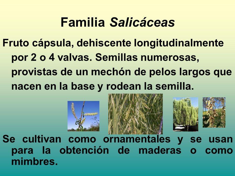 Fruto cápsula, dehiscente longitudinalmente por 2 o 4 valvas. Semillas numerosas, provistas de un mechón de pelos largos que nacen en la base y rodean