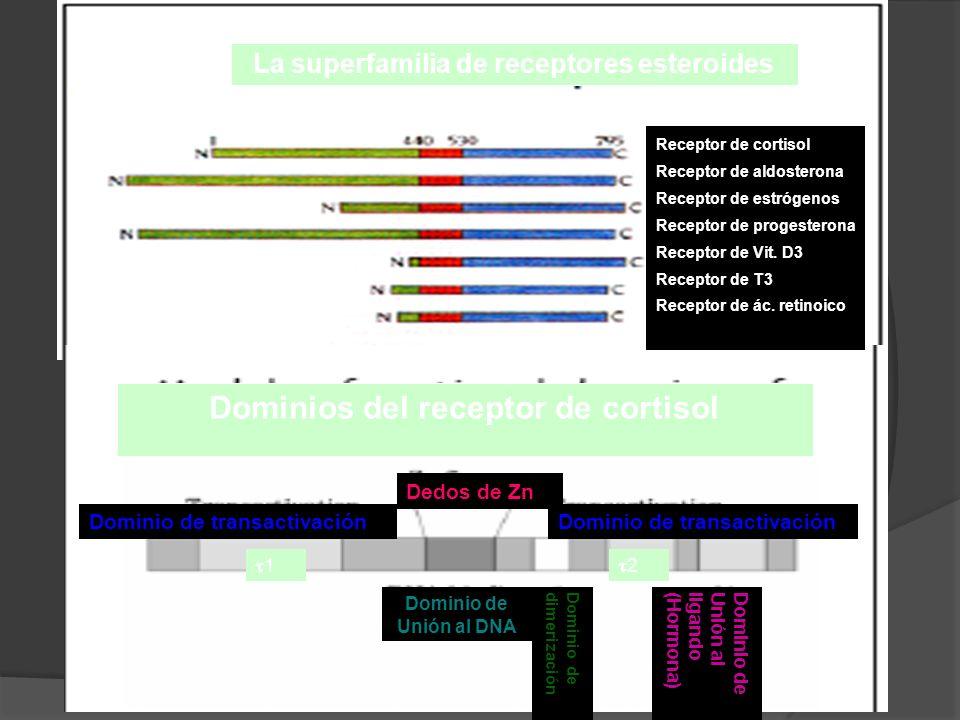 La superfamilia de receptores esteroides Dominios del receptor de cortisol Receptor de cortisol Receptor de aldosterona Receptor de estrógenos Recepto