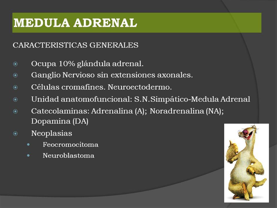 MEDULA ADRENAL CARACTERISTICAS GENERALES Ocupa 10% glándula adrenal. Ganglio Nervioso sin extensiones axonales. Células cromafines. Neuroectodermo. Un