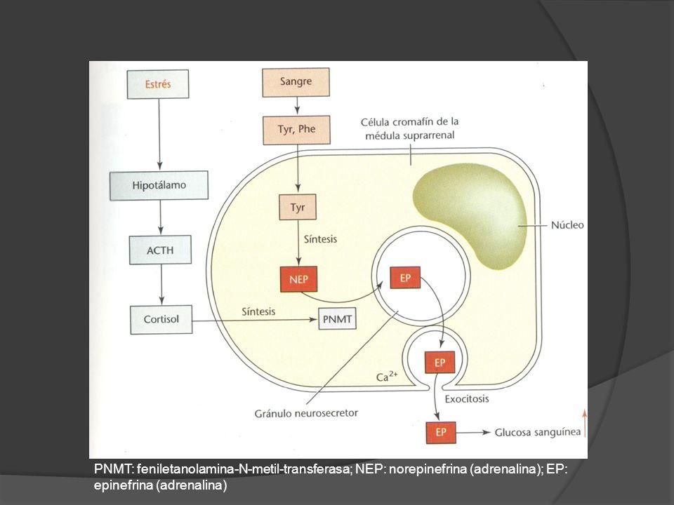 PNMT: feniletanolamina-N-metil-transferasa; NEP: norepinefrina (adrenalina); EP: epinefrina (adrenalina)