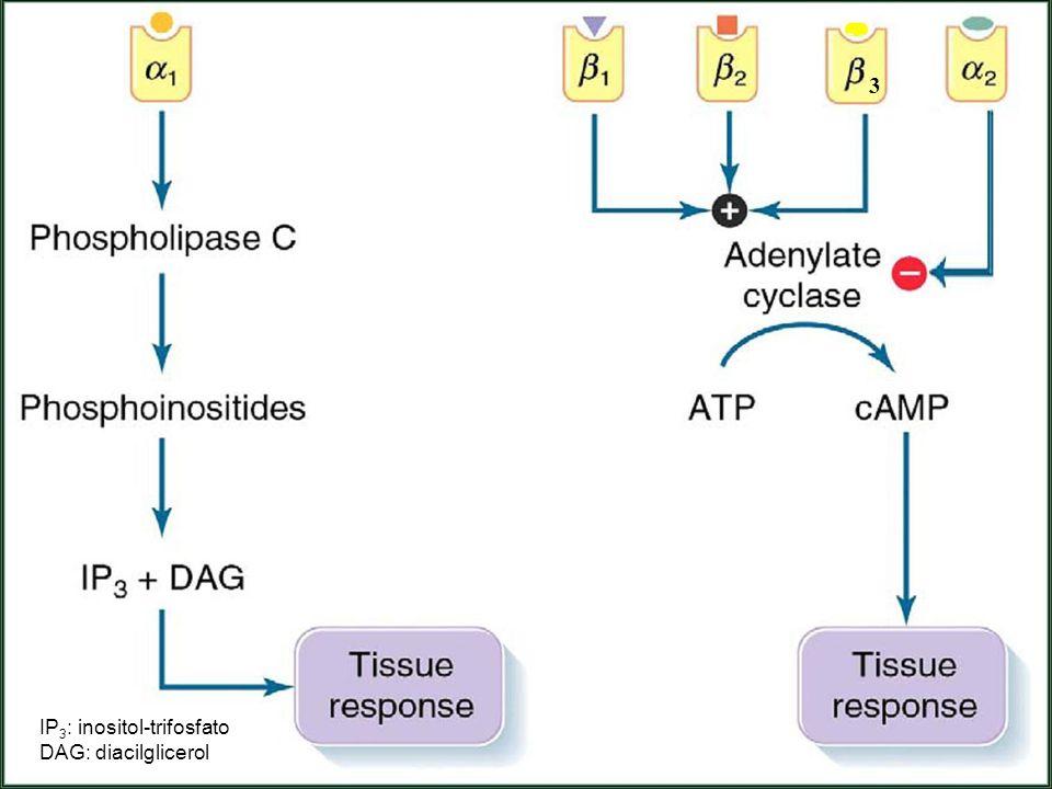 3 IP 3 : inositol-trifosfato DAG: diacilglicerol