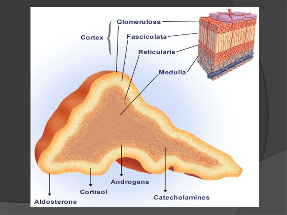 MEDULA ADRENAL CATECOLAMINAS
