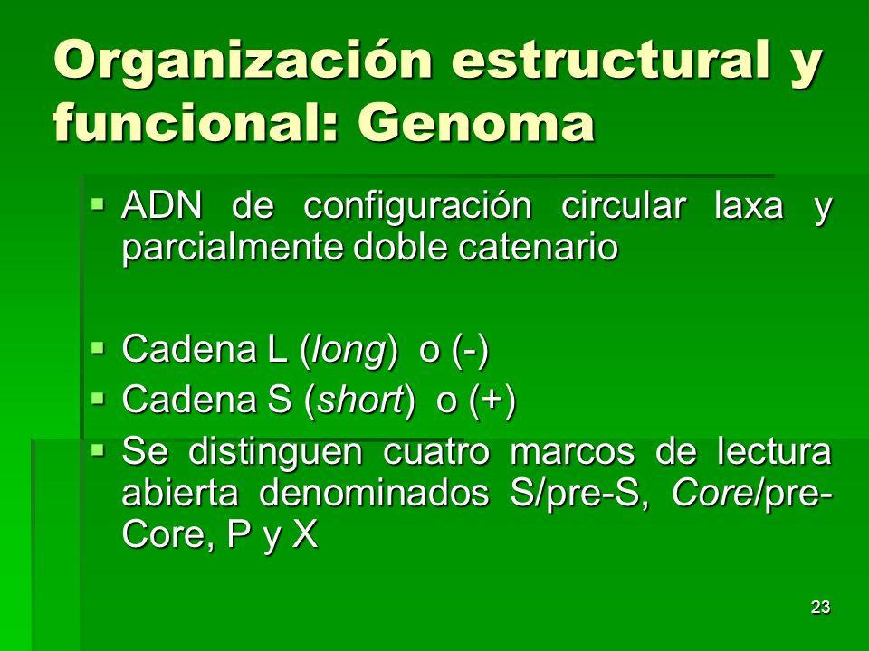 23 Organización estructural y funcional: Genoma ADN de configuración circular laxa y parcialmente doble catenario ADN de configuración circular laxa y
