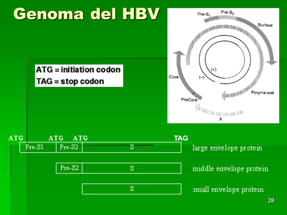 28 Genoma del HBV TAG