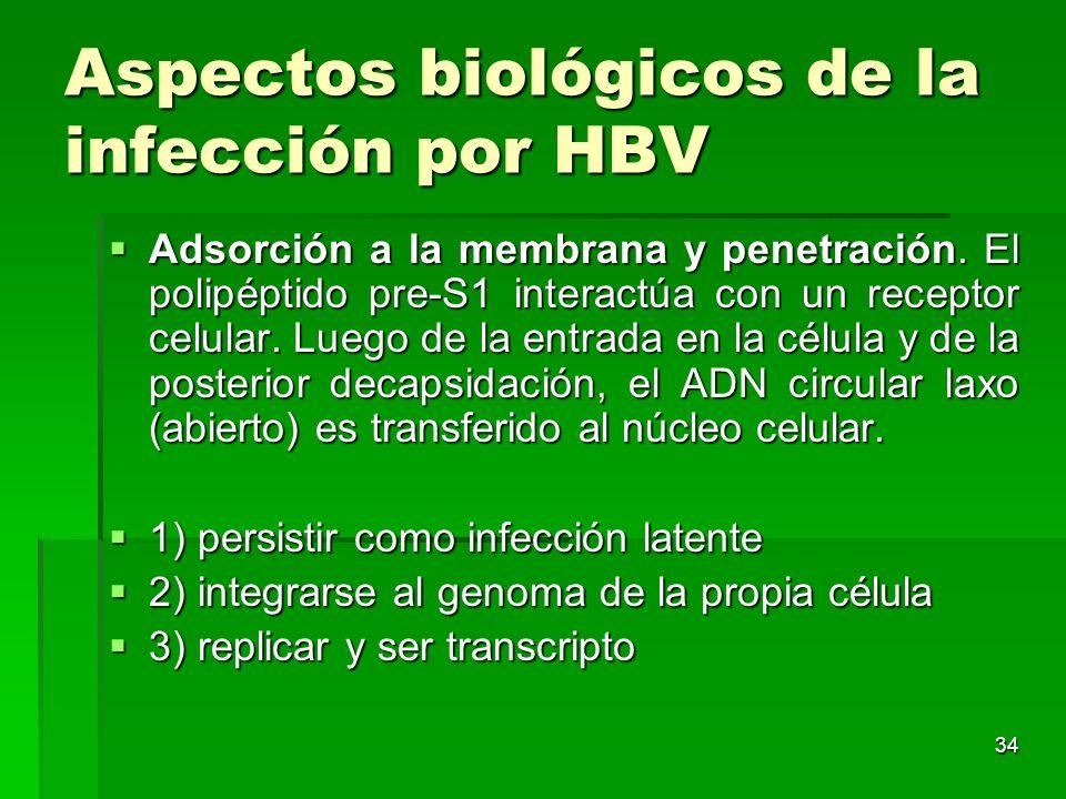 34 Aspectos biológicos de la infección por HBV Adsorción a la membrana y penetración. El polipéptido pre-S1 interactúa con un receptor celular. Luego