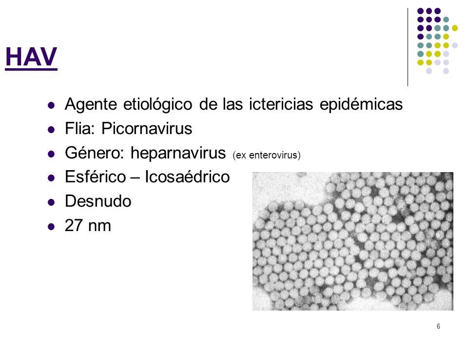 6 HAV Agente etiológico de las ictericias epidémicas Flia: Picornavirus Género: heparnavirus (ex enterovirus) Esférico – Icosaédrico Desnudo 27 nm