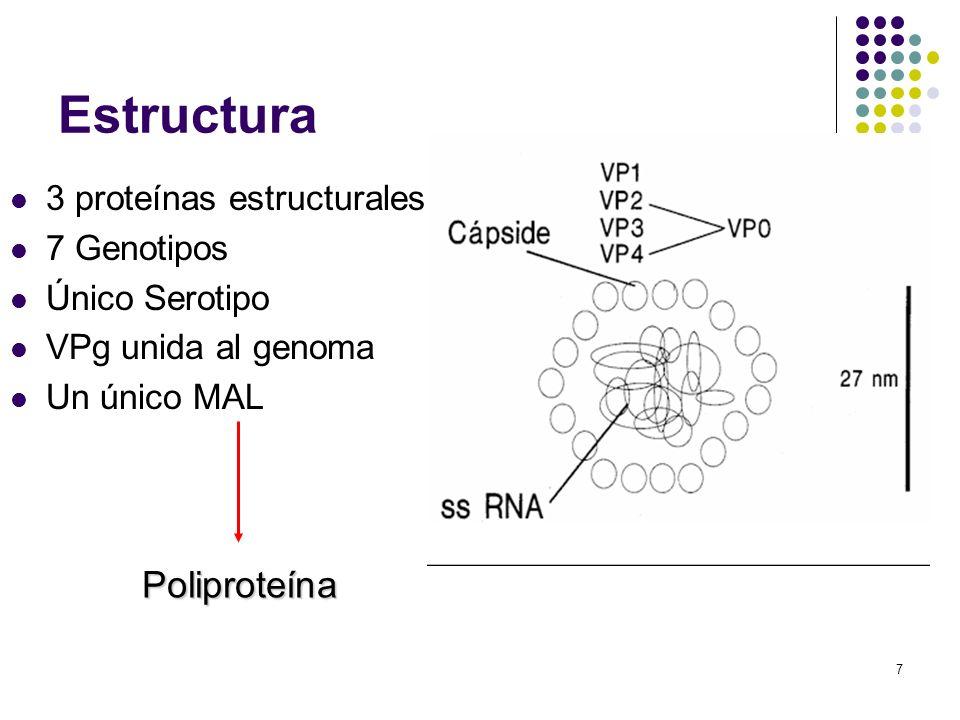7 Estructura 3 proteínas estructurales 7 Genotipos Único Serotipo VPg unida al genoma Un único MAL Poliproteína
