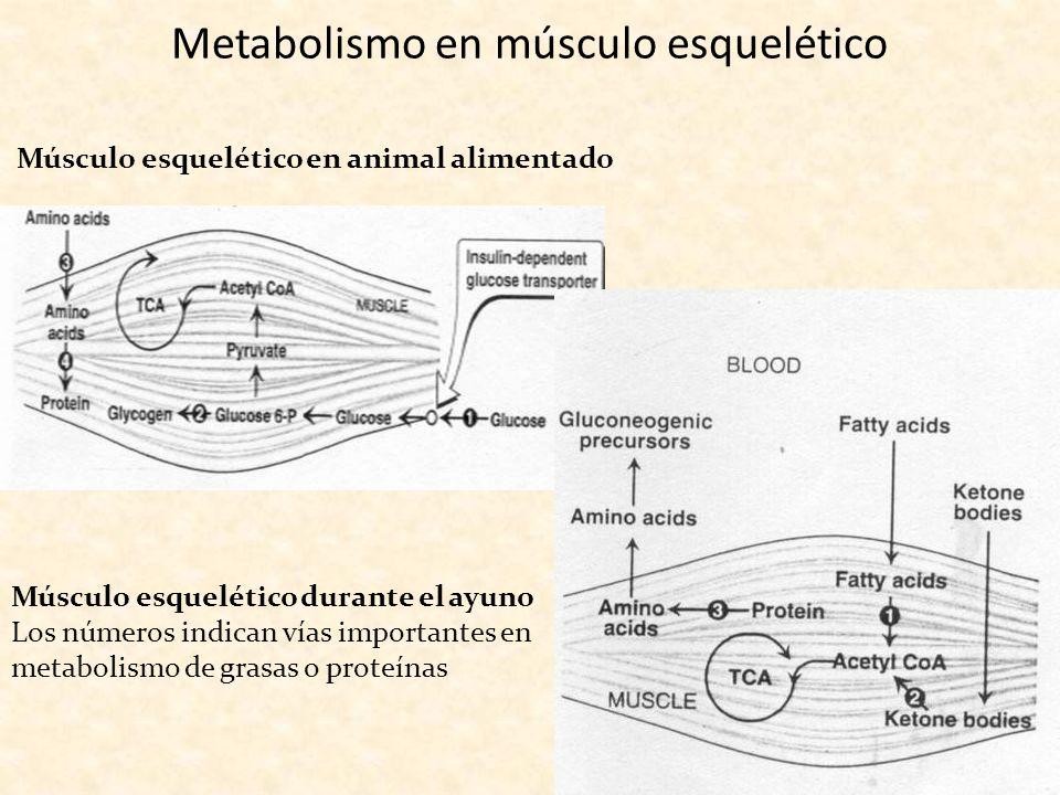 Metabolismo en músculo esquelético Músculo esquelético en animal alimentado Músculo esquelético durante el ayuno Los números indican vías importantes