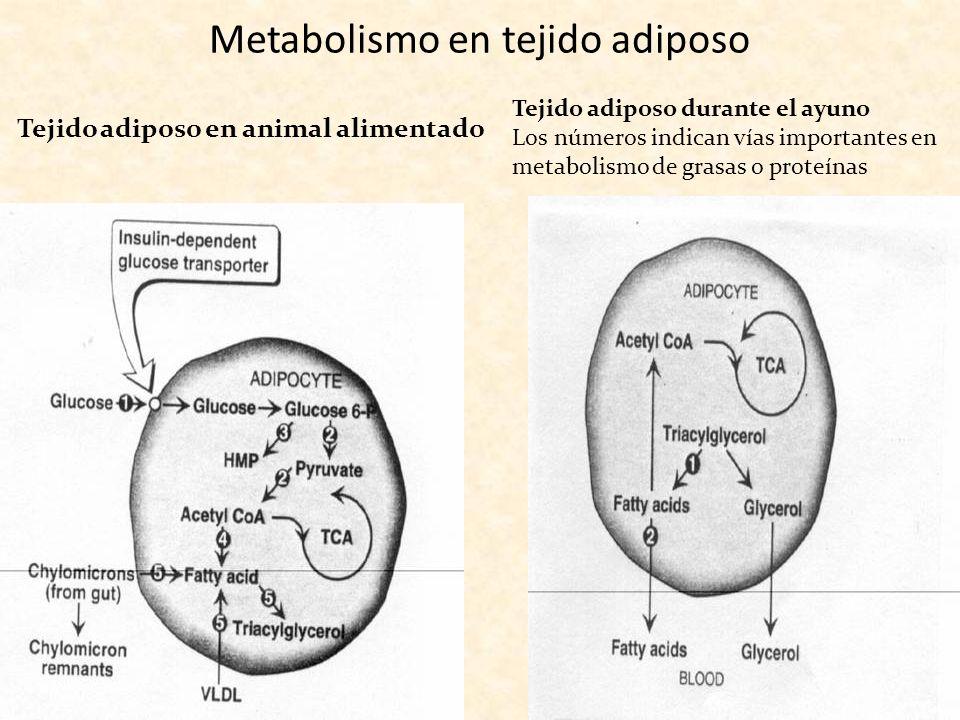 Metabolismo en tejido adiposo Tejido adiposo en animal alimentado Tejido adiposo durante el ayuno Los números indican vías importantes en metabolismo