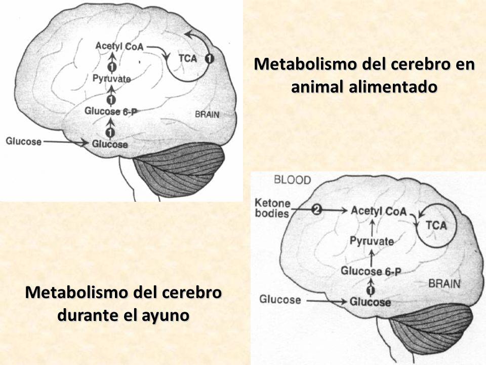 Metabolismo del cerebro en animal alimentado Metabolismo del cerebro durante el ayuno