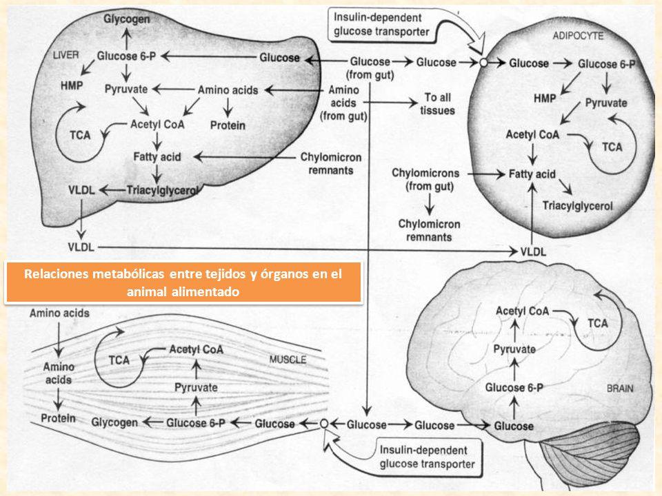 Relaciones metabólicas entre tejidos y órganos en el animal alimentado
