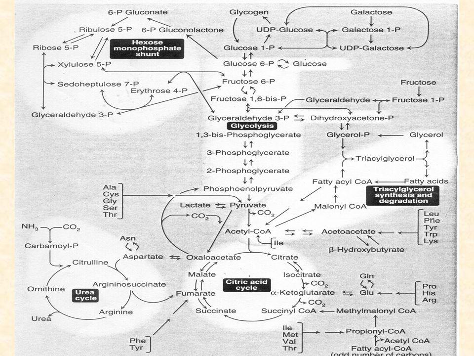 Integración metabólica en el ayuno cociente insulina/glucagón La caída del cociente insulina/glucagón dirige el metabolismo celular de órganos y tejidos, y su perfecta interconexión e integración, asegurando el suministro continuo de glucosa al cerebro.