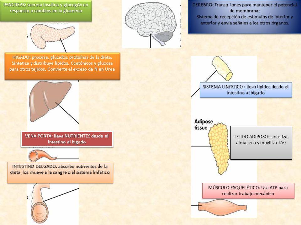CEREBRO: Transp. Iones para mantener el potencial de membrana; Sistema de recepción de estímulos de interior y exterior y envía señales a los otros ór