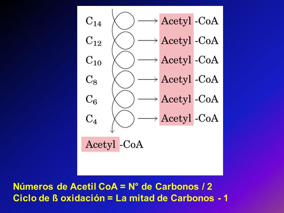 Números de Acetil CoA = N° de Carbonos / 2 Ciclo de ß oxidación = La mitad de Carbonos - 1