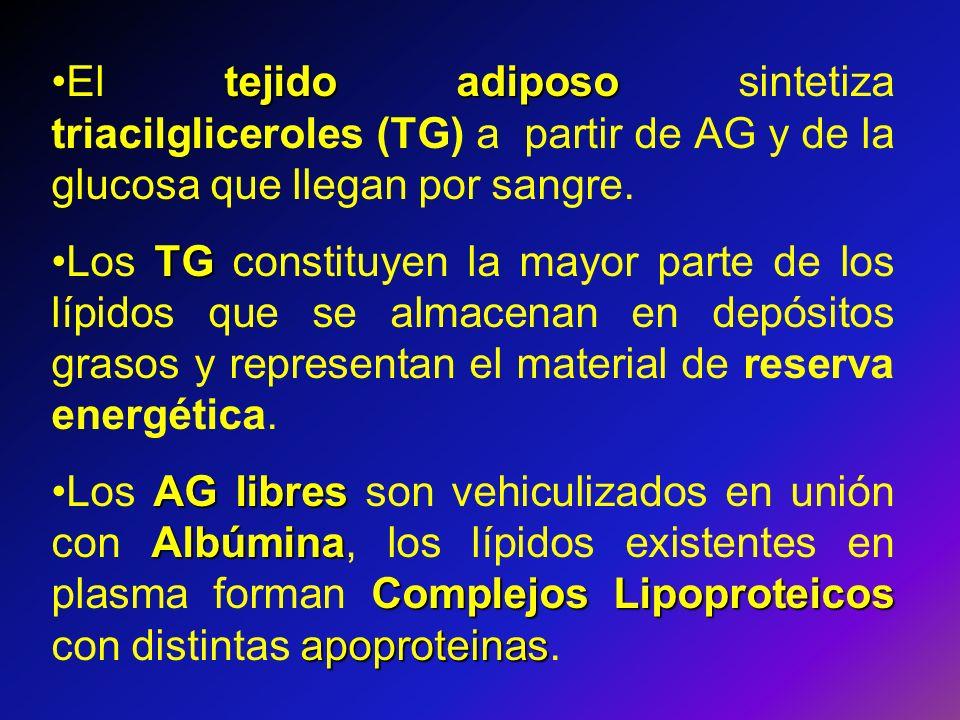 tejido adiposoEl tejido adiposo sintetiza triacilgliceroles (TG) a partir de AG y de la glucosa que llegan por sangre. TGLos TG constituyen la mayor p