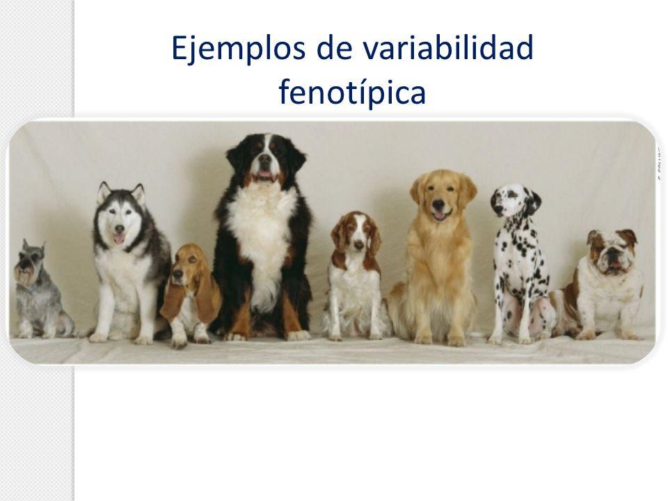 Ejemplos de variabilidad fenotípica