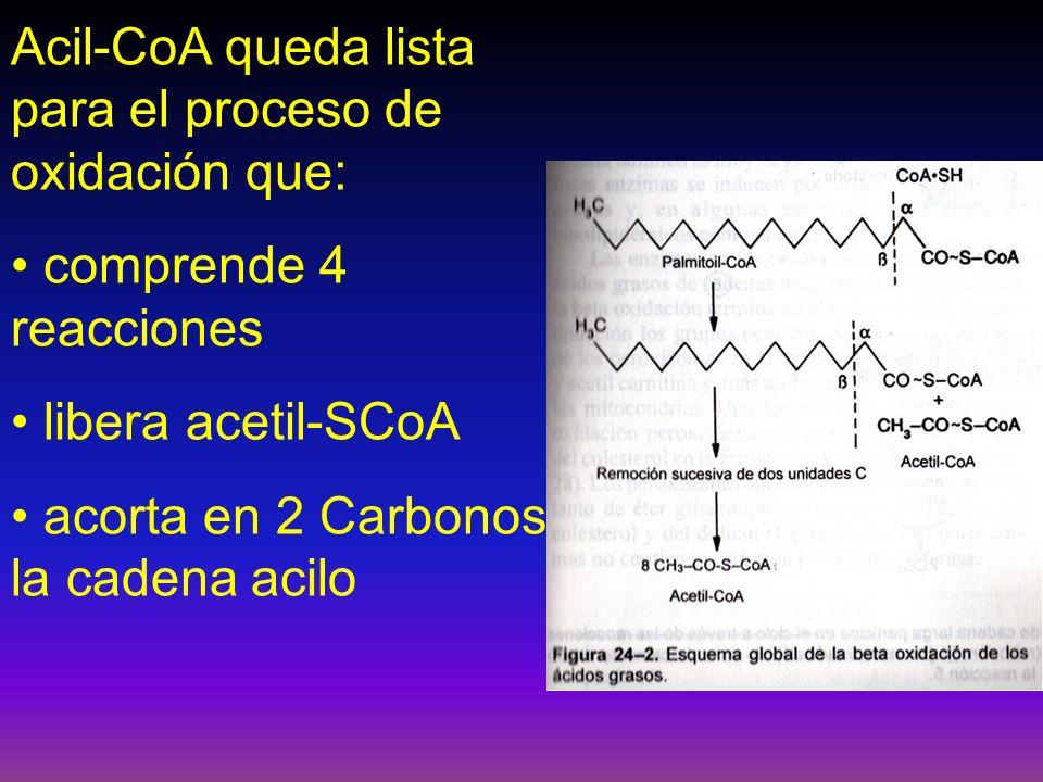 Acil-CoA queda lista para el proceso de oxidación que: comprende 4 reacciones libera acetil-SCoA acorta en 2 Carbonos la cadena acilo