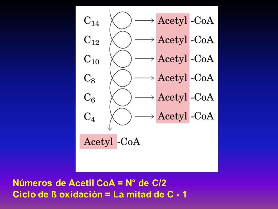 Números de Acetil CoA = N° de C/2 Ciclo de ß oxidación = La mitad de C - 1