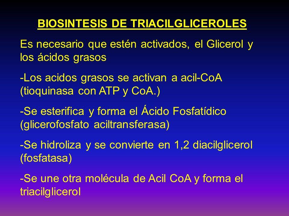 BIOSINTESIS DE TRIACILGLICEROLES Es necesario que estén activados, el Glicerol y los ácidos grasos -Los acidos grasos se activan a acil-CoA (tioquinas