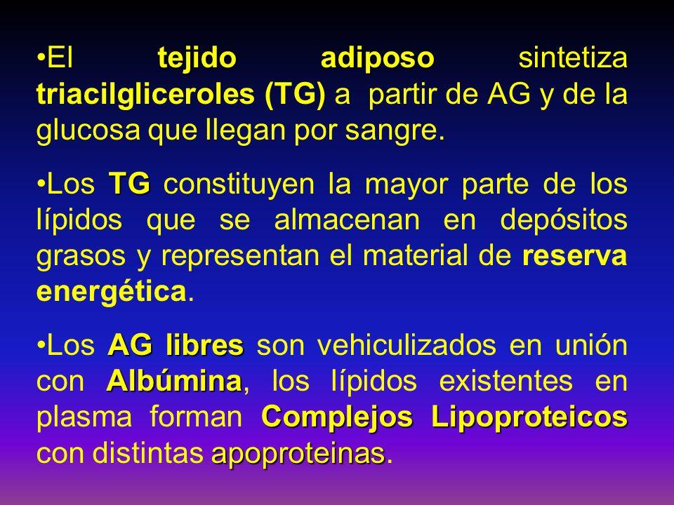 LIPOPROTEÍNAS Quilomicrones 1- Quilomicrones : TG y proteínas de l tipo ApoA y Apo B VLDL 2- VLDL (lipop.de muy baja densidad):TG y Apo-B.