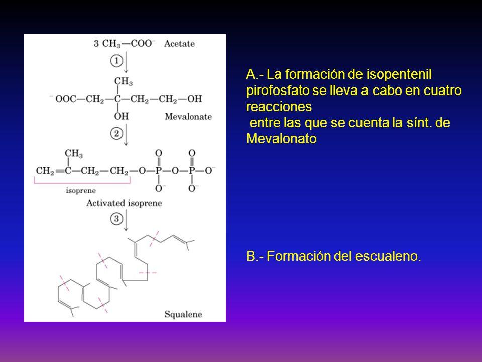 A.- La formación de isopentenil pirofosfato se lleva a cabo en cuatro reacciones entre las que se cuenta la sínt. de Mevalonato B.- Formación del escu