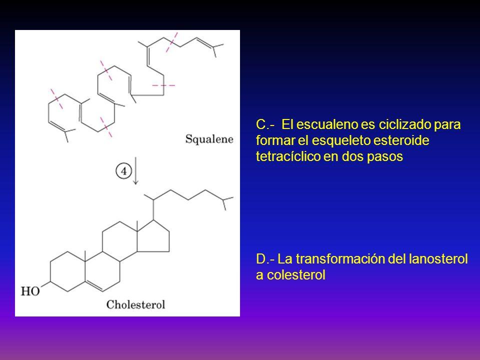 C.- El escualeno es ciclizado para formar el esqueleto esteroide tetracíclico en dos pasos D.- La transformación del lanosterol a colesterol