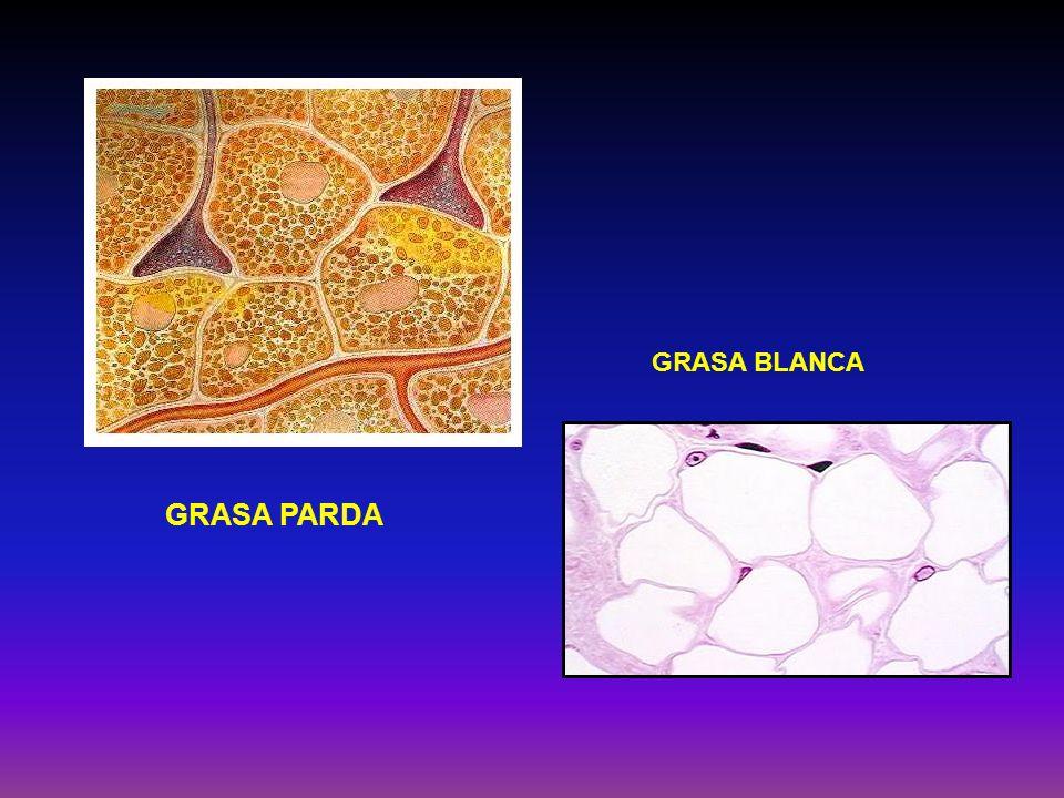 GRASA PARDA Participa en el metabolismo cuando se hace necesaria la generación de calor Es activo en los animales expuestos al Frío Alto contenido de mitocondrias y citocromos baja actividad de la ATP sintetasa Promueve la Termogenésis