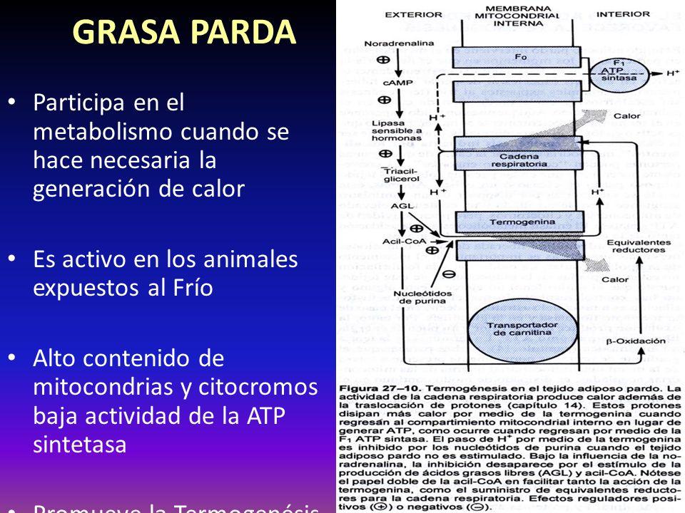 GRASA PARDA Participa en el metabolismo cuando se hace necesaria la generación de calor Es activo en los animales expuestos al Frío Alto contenido de