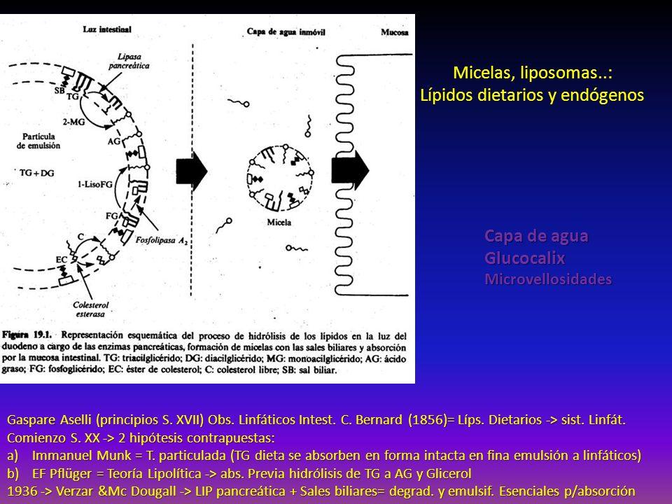 Gaspare Aselli (principios S. XVII) Obs. Linfáticos Intest. C. Bernard (1856)= Líps. Dietarios -> sist. Linfát. Comienzo S. XX -> 2 hipótesis contrapu