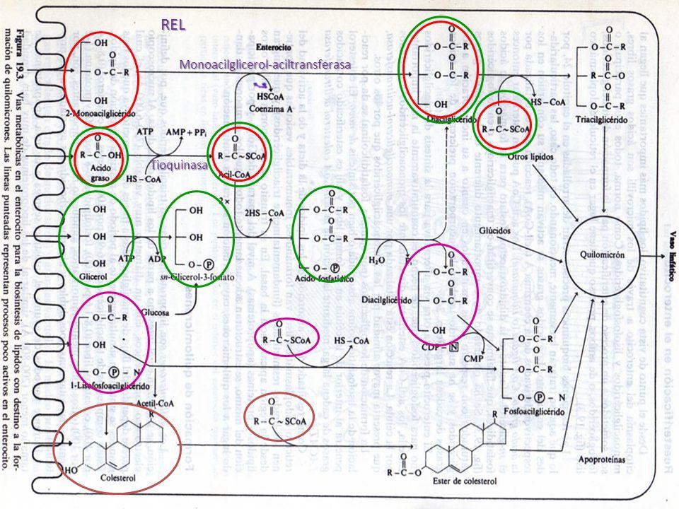 REL Tioquinasa Monoacilglicerol-aciltransferasa