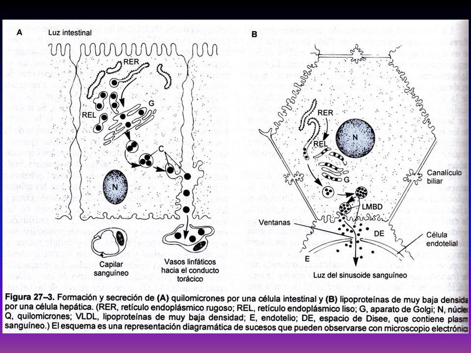 LIPIDOS DE LOS TEJIDOS A-Lípidos de Depósito: Tejido Celular subcutáneo y adiposo Contiene grasas neutras y pequeña cantidad de Colesterol y L.