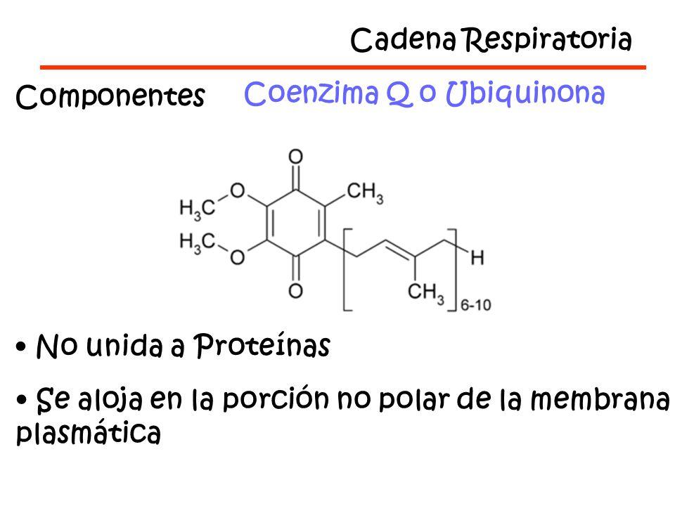 Cadena Respiratoria Componentes Coenzima Q o Ubiquinona No unida a Proteínas Se aloja en la porción no polar de la membrana plasmática