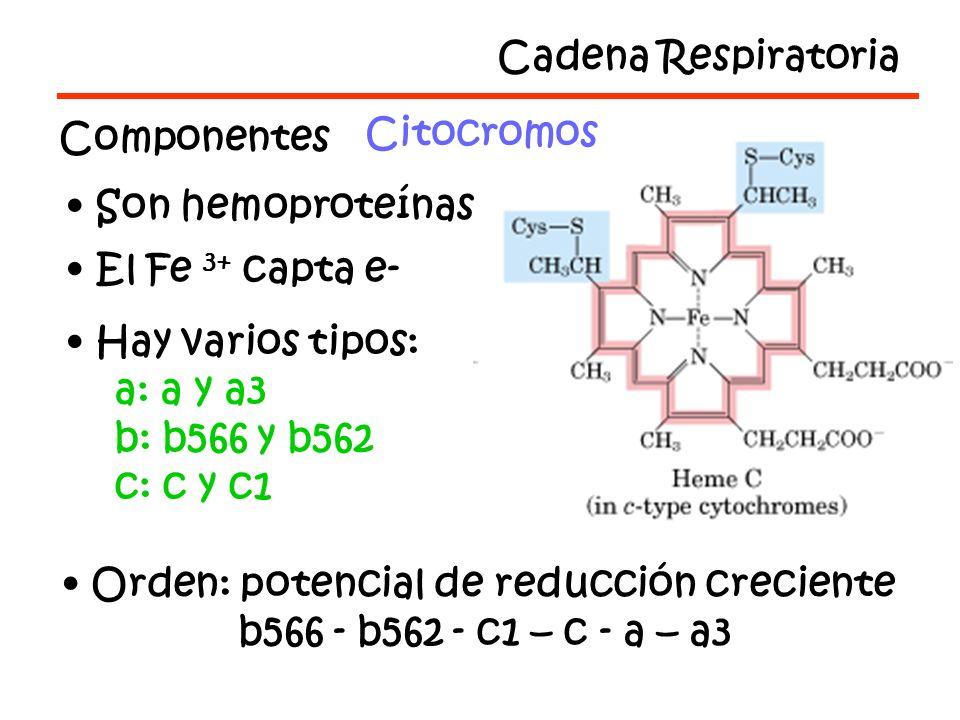Cadena Respiratoria Componentes Citocromos Son hemoproteínas El Fe 3+ capta e- Hay varios tipos: a: a y a3 b: b566 y b562 c: c y c1 Orden: potencial de reducción creciente b566 - b562 - c1 – c - a – a3