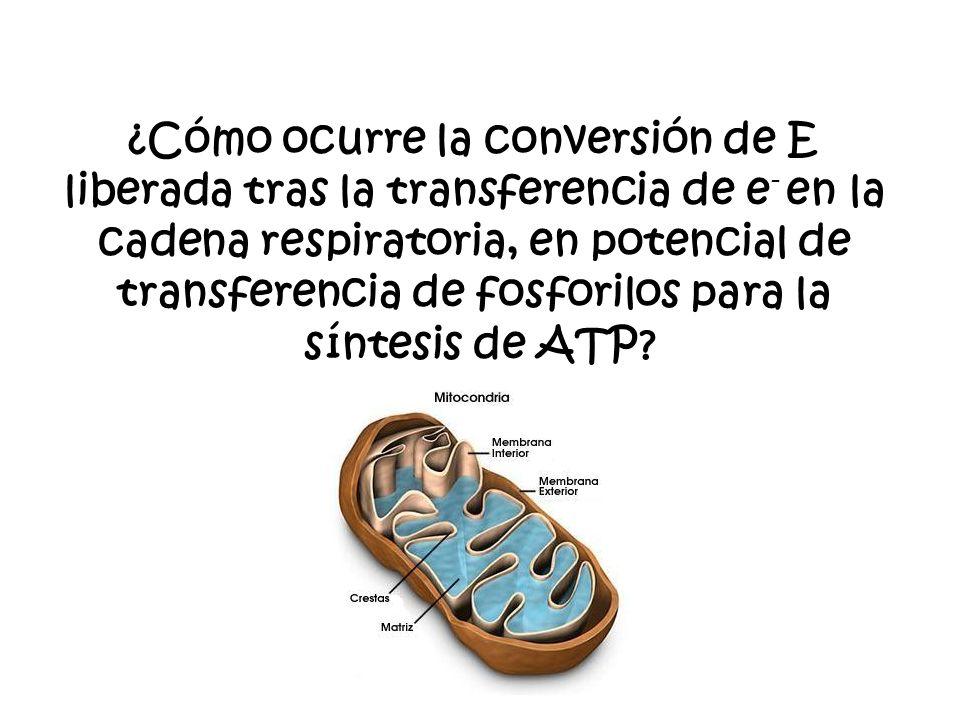 ¿Cómo ocurre la conversión de E liberada tras la transferencia de e - en la cadena respiratoria, en potencial de transferencia de fosforilos para la síntesis de ATP?