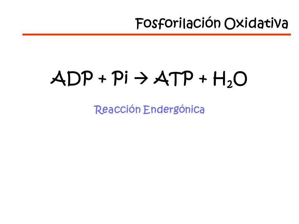 ADP + Pi ATP + H 2 O Reacción Endergónica Fosforilación Oxidativa