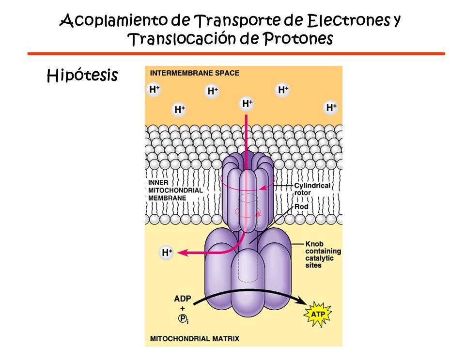 Acoplamiento de Transporte de Electrones y Translocación de Protones Hipótesis