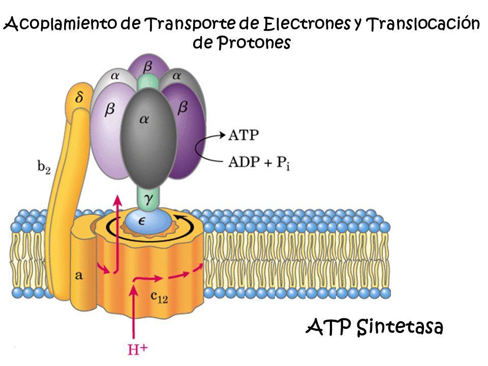 ATP Sintetasa Acoplamiento de Transporte de Electrones y Translocación de Protones