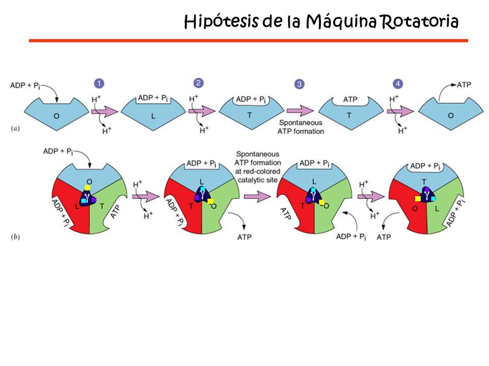 Hipótesis de la Máquina Rotatoria