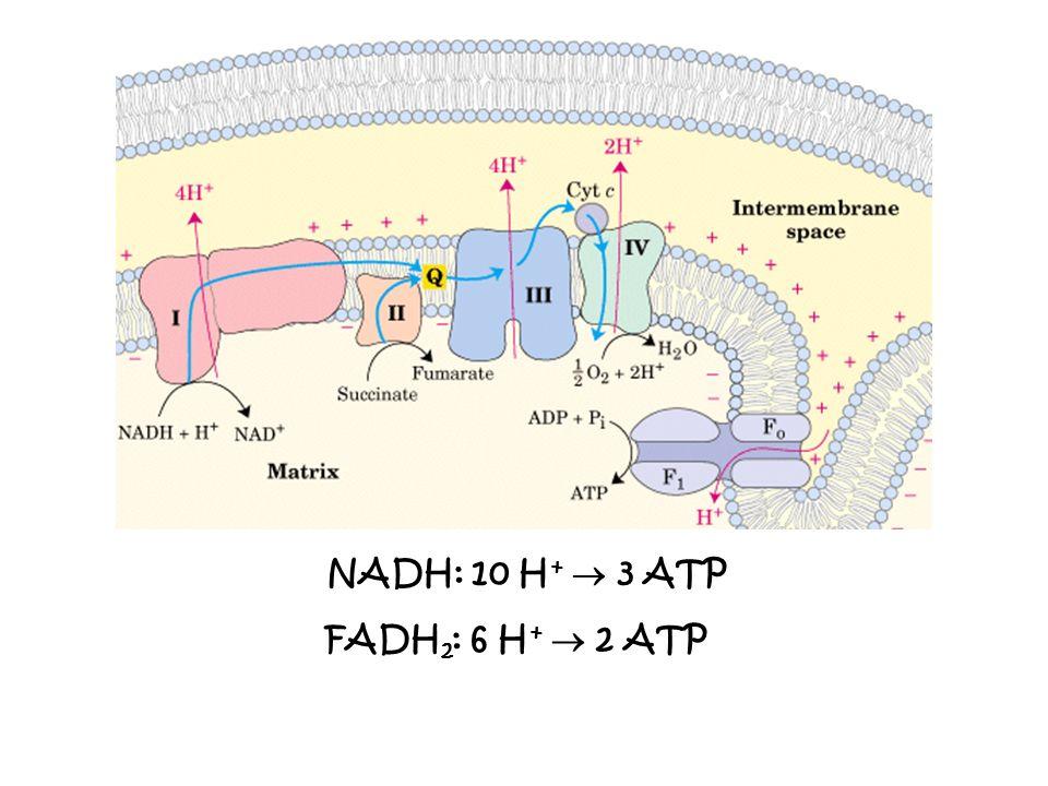 NADH: 10 H + 3 ATP FADH 2 : 6 H + 2 ATP