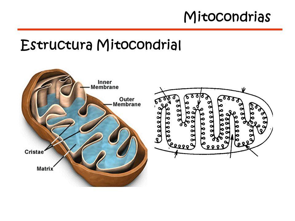 Partículas Submitocondriales Primeras Evidencias