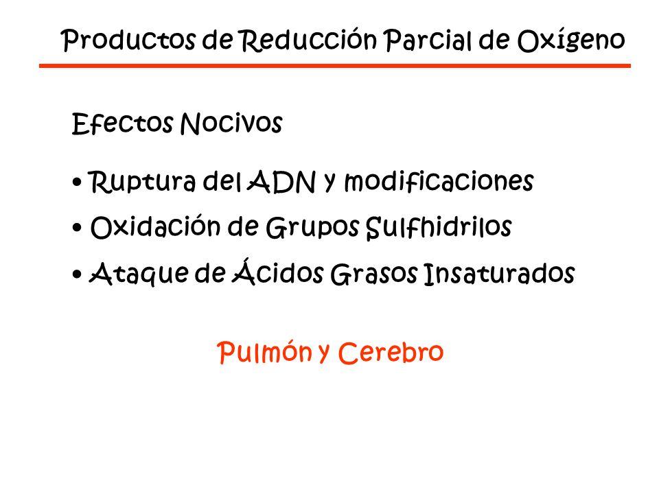 Productos de Reducción Parcial de Oxígeno Efectos Nocivos Ruptura del ADN y modificaciones Oxidación de Grupos Sulfhidrilos Ataque de Ácidos Grasos Insaturados Pulmón y Cerebro