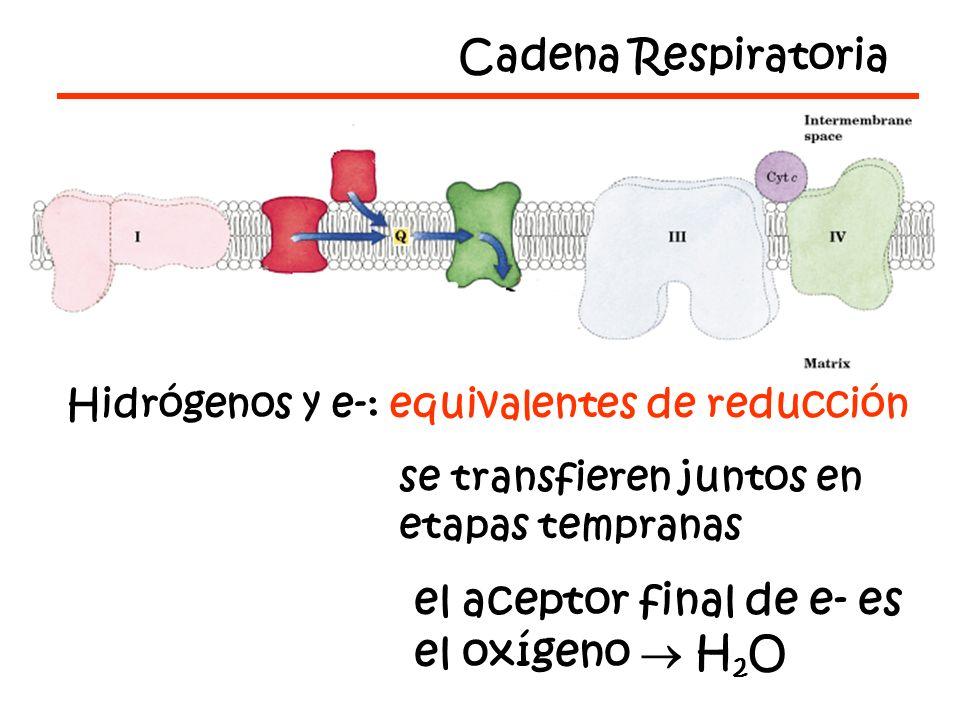 Hidrógenos y e-: equivalentes de reducción se transfieren juntos en etapas tempranas el aceptor final de e- es el oxígeno H 2 O