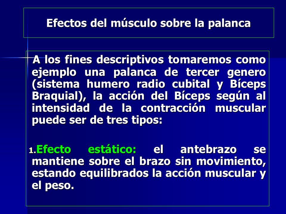 Efectos del músculo sobre la palanca A los fines descriptivos tomaremos como ejemplo una palanca de tercer genero (sistema humero radio cubital y Bíce