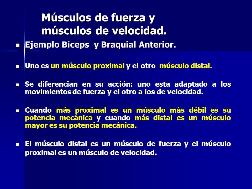 Músculos de fuerza y músculos de velocidad. Ejemplo Bíceps y Braquial Anterior. Uno es un músculo proximal y el otro músculo distal. Se diferencian en