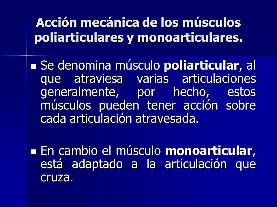 Acción mecánica de los músculos poliarticulares y monoarticulares. Se denomina músculo poliarticular, al que atraviesa varias articulaciones generalme