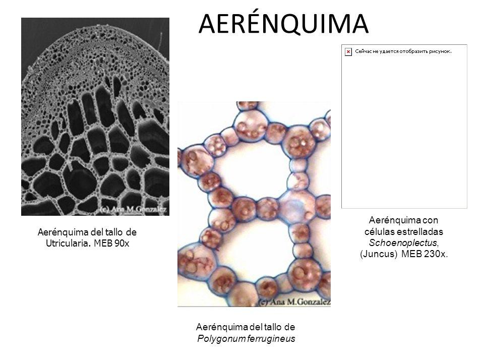 Aerénquima del tallo de Utricularia. MEB 90x Aerénquima del tallo de Polygonum ferrugineus Aerénquima con células estrelladas Schoenoplectus, (Juncus)